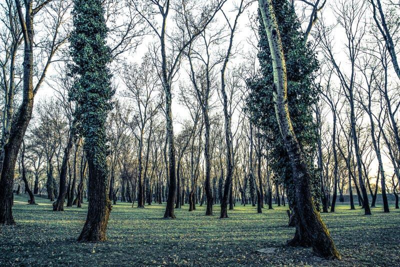Försilvra björkträd i vinter med kala filialer, Kroatien royaltyfria foton