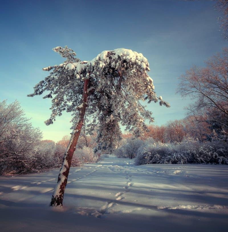Försilvra frost på treesna på en solig dag i vinter arkivfoto
