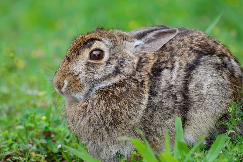 Förskräckt aquaticus för Sylvilagus för hare för träsk för träskkanin arkivbilder