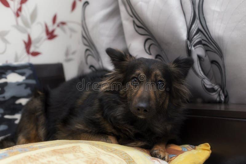 Förskräckt hund som ligger på soffan royaltyfria foton