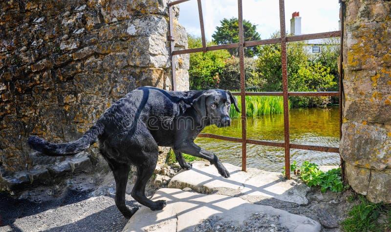 Förskräckt stor hund för svart i sommar royaltyfri foto