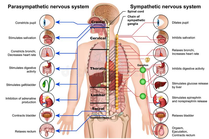 Förstående och parasympathetic medicinsk illustration för nervsystem 3d på vit bakgrund vektor illustrationer