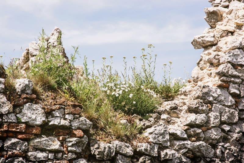 Förstörd Plavecky slott, Slovakien, slut upp av väggen med blommor arkivbild