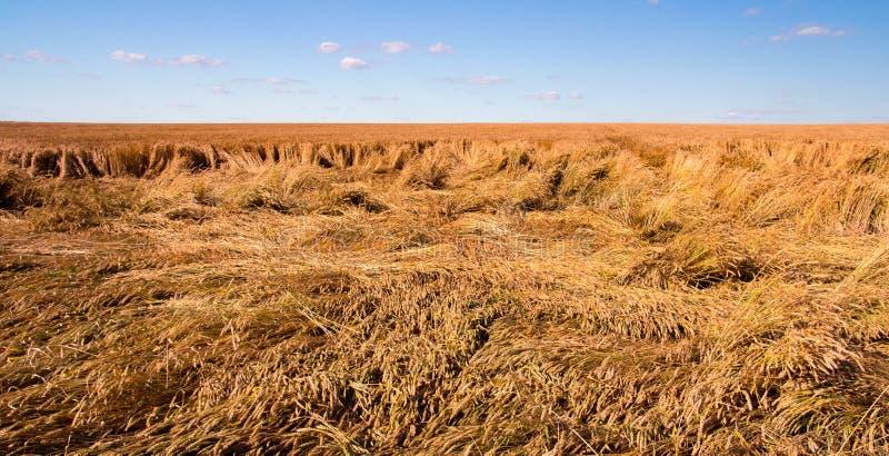 Förstörde skörden av vete vid en stark vind, ett fält som spolierades av en orkan royaltyfri bild