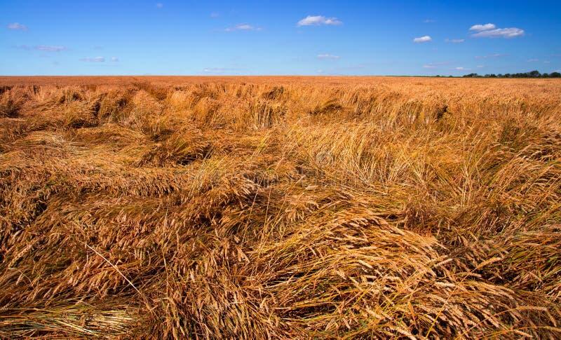 Förstörde skörden av vete vid en stark vind, ett fält som spolierades av en orkan arkivfoto