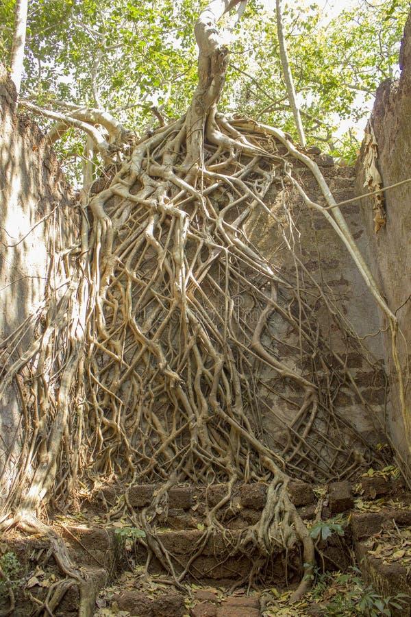 Förstört hus i ett forntida fort i den gröna djungeln som är bevuxen med banyanträd royaltyfri fotografi