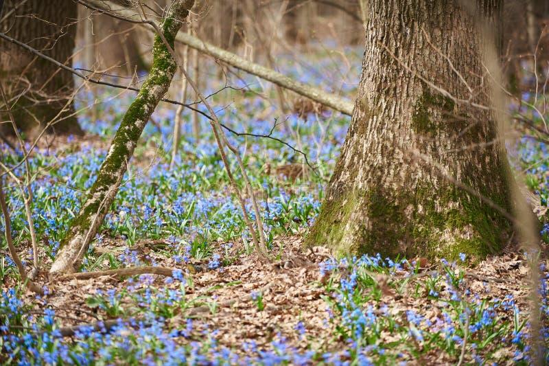 Första blåa blommor Scilla växer i tidig vår i skogen arkivfoto
