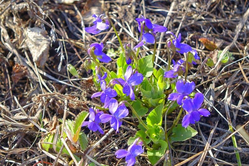 Första blåa vårblommor blom- naturligt för bakgrund closeup arkivbilder