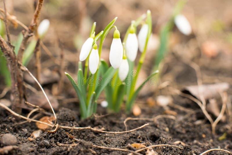 Första blommor av vårsnödroppar royaltyfri bild