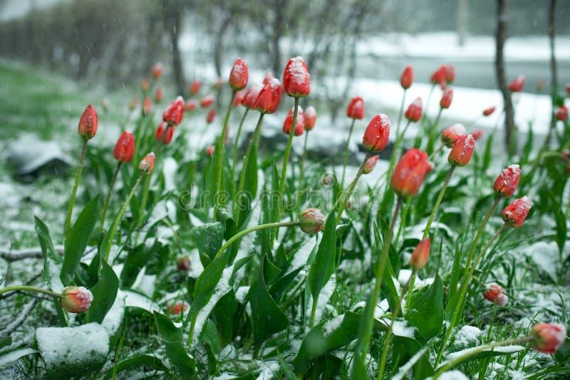 Första blomningblomma för djupfryst vår, blom- tappningvinterbakgrund, makrobild Blomma blommor under en insnöad vår arkivfoton