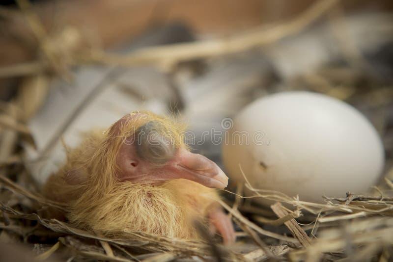 Första dag av duvafågeln som kläcker i hem- vind royaltyfria bilder