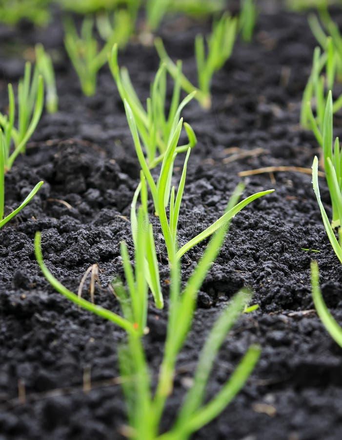 första forsar av unga salladslökar växer på våren trädgårds- royaltyfria foton