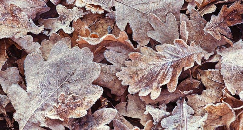 Första frost på stupade eksidor i skogen, naturlig utomhus- bakgrund royaltyfria foton