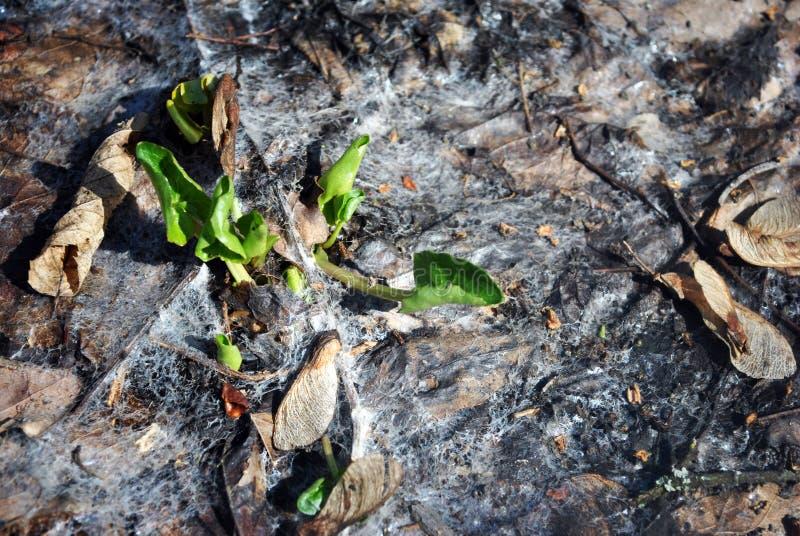Första gröna sidor av calthasmörblomman i bakgrunden av ruttna bruna sidor och spindelrengöringsduken omkring, första vårblomma fotografering för bildbyråer