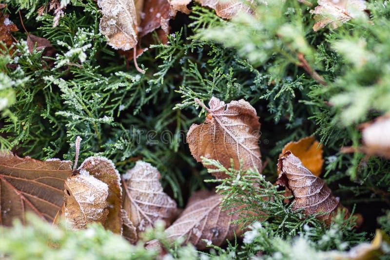 Första jordfrost täckte nya gröna sidor i tidig höstmorgon Säsongsbetonad handling av naturen Början av den kalla säsongen arkivfoton