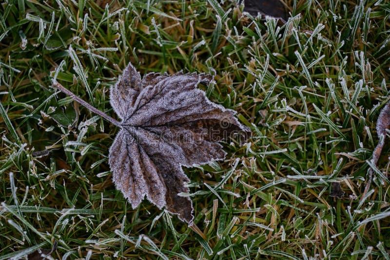 Första jordfrost täckte nya gröna sidor i tidig höstmorgon Säsongsbetonad handling av naturen Början av den kalla säsongen Väder  royaltyfri bild