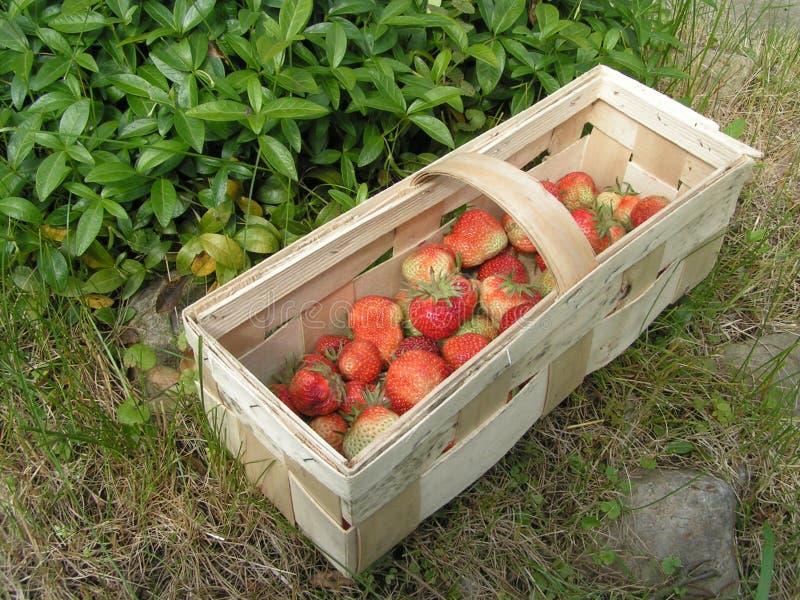 första jordgubbar arkivbilder