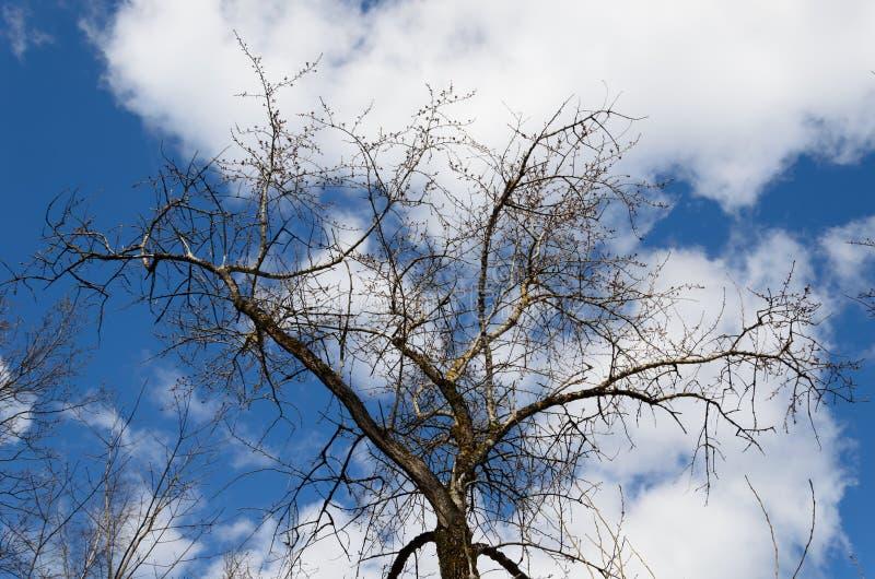 Första knoppar på ett träd i tidig vår på en bakgrund av blå himmel med moln r arkivbild
