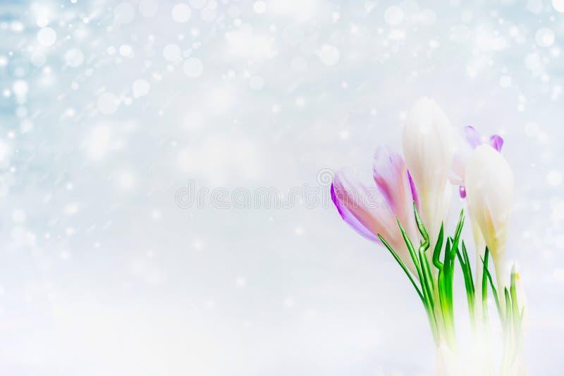 Första krokusar blommar på ljus bakgrund med dragen snö, sidosikt arkivbilder
