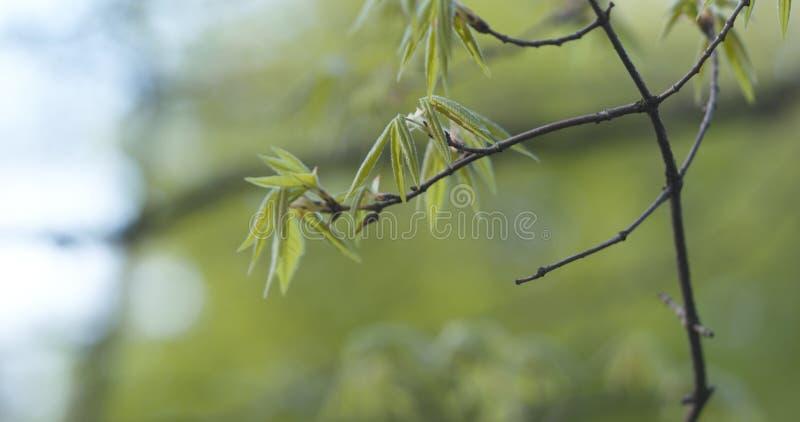 Första sidor på träd för acertriflorumlönn royaltyfri fotografi
