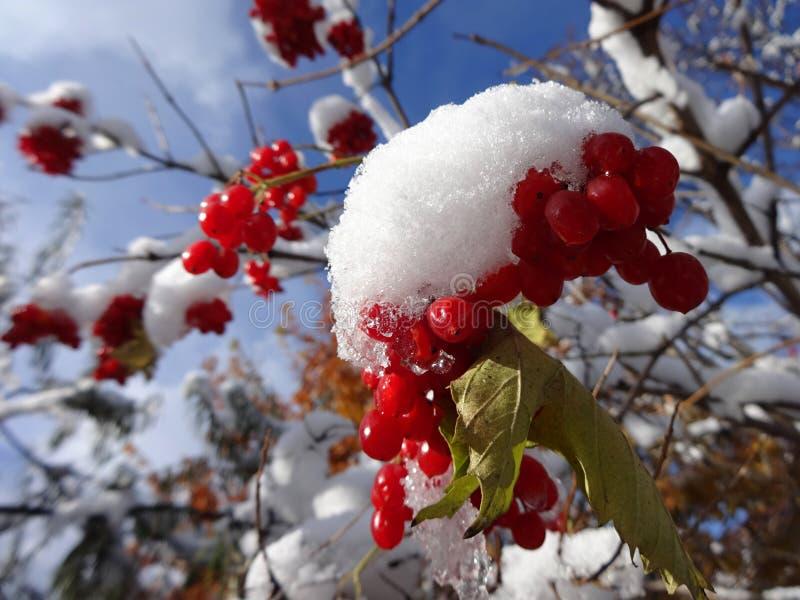 Första snö på bären av viburnumen på en solig dag arkivbild