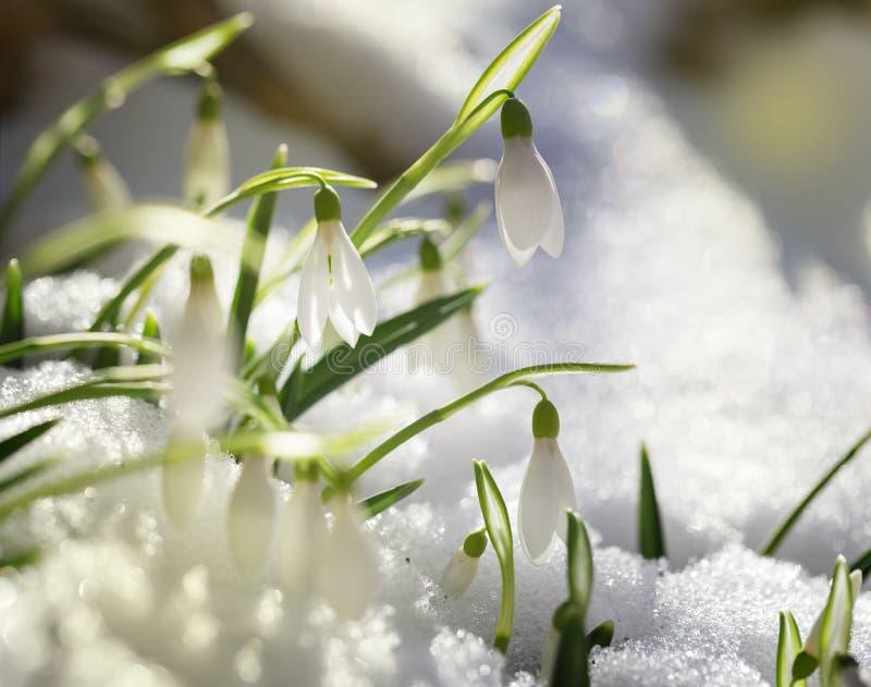 Första snödroppar på snö royaltyfria bilder
