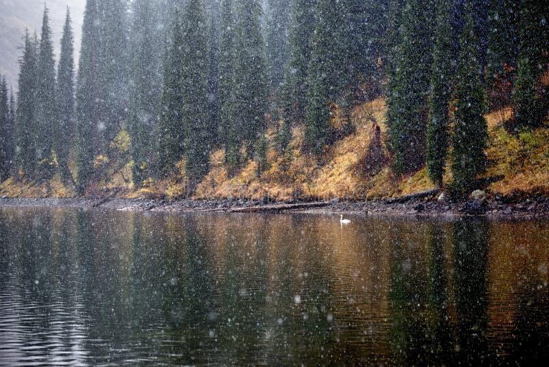 Första snöfall och ensam svan på sjön arkivfoto