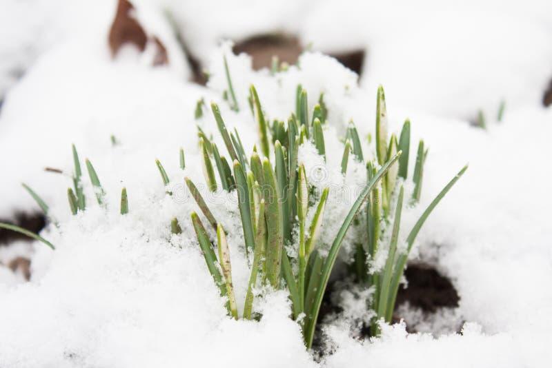 Första snowbell slår ut i Januari royaltyfri bild