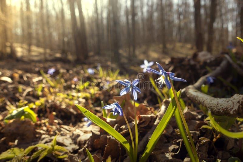 Första vårblomma, blåa blommor av Scilla Squill blomma arkivfoto