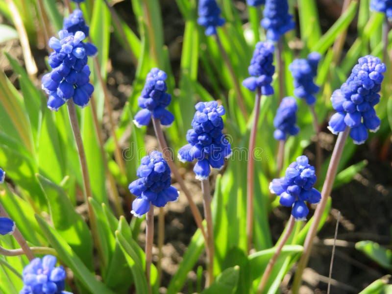 Första vårblomma-hyacinter arkivfoton