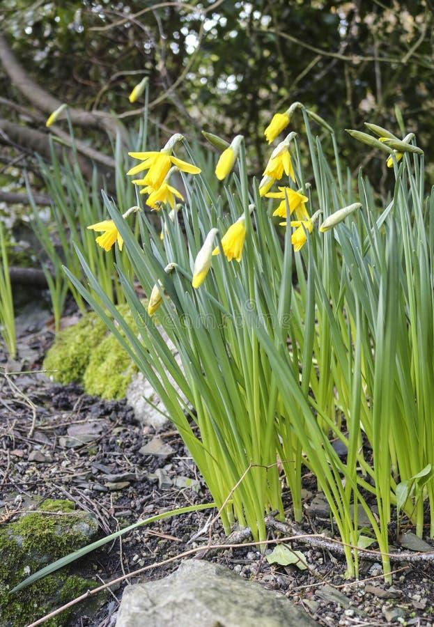 Första vårblommor, påskliljor royaltyfri bild