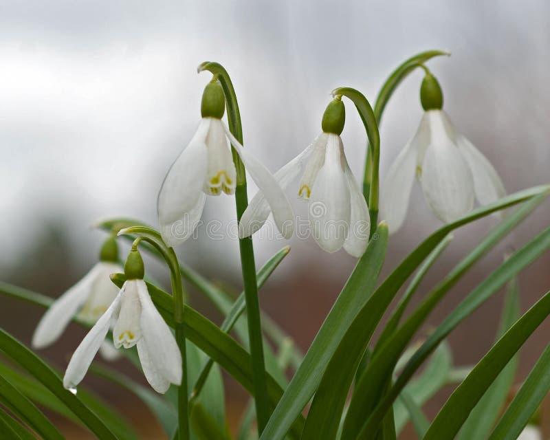 Första vårblommor - snödroppar, Galanthus nivalis arkivbild