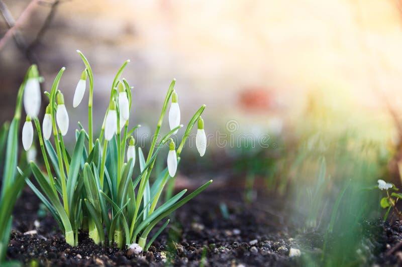 Första vårblommor, snödroppar i trädgård, royaltyfri bild