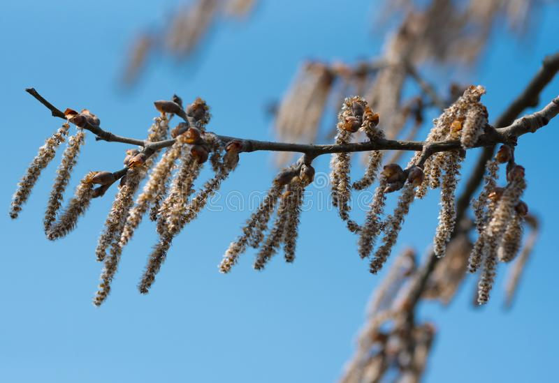 Första vårgräsplanknoppar på ett träd Blomstra av tr?d royaltyfri bild