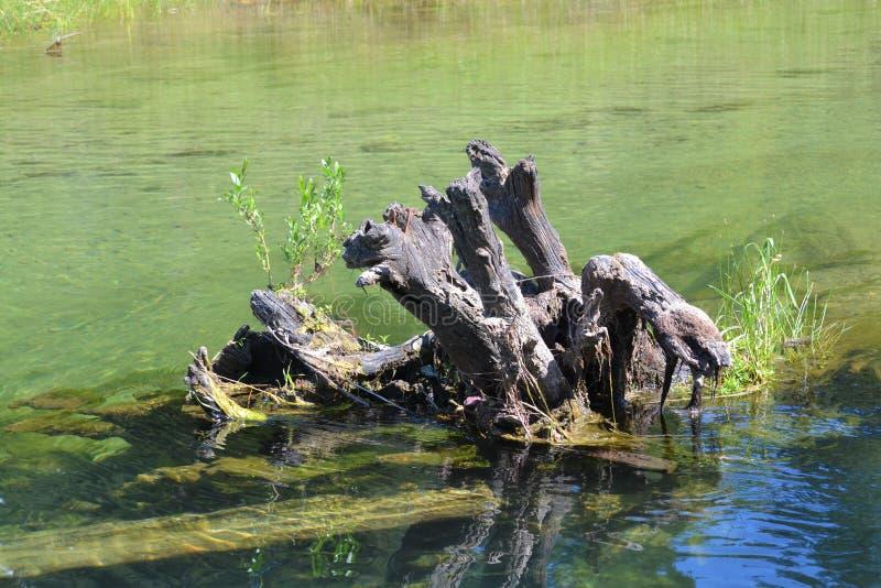 Förstenad stubbe i vattnet arkivfoto