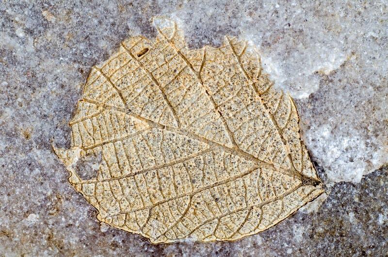 Förstenad trädbladavtryck royaltyfria foton