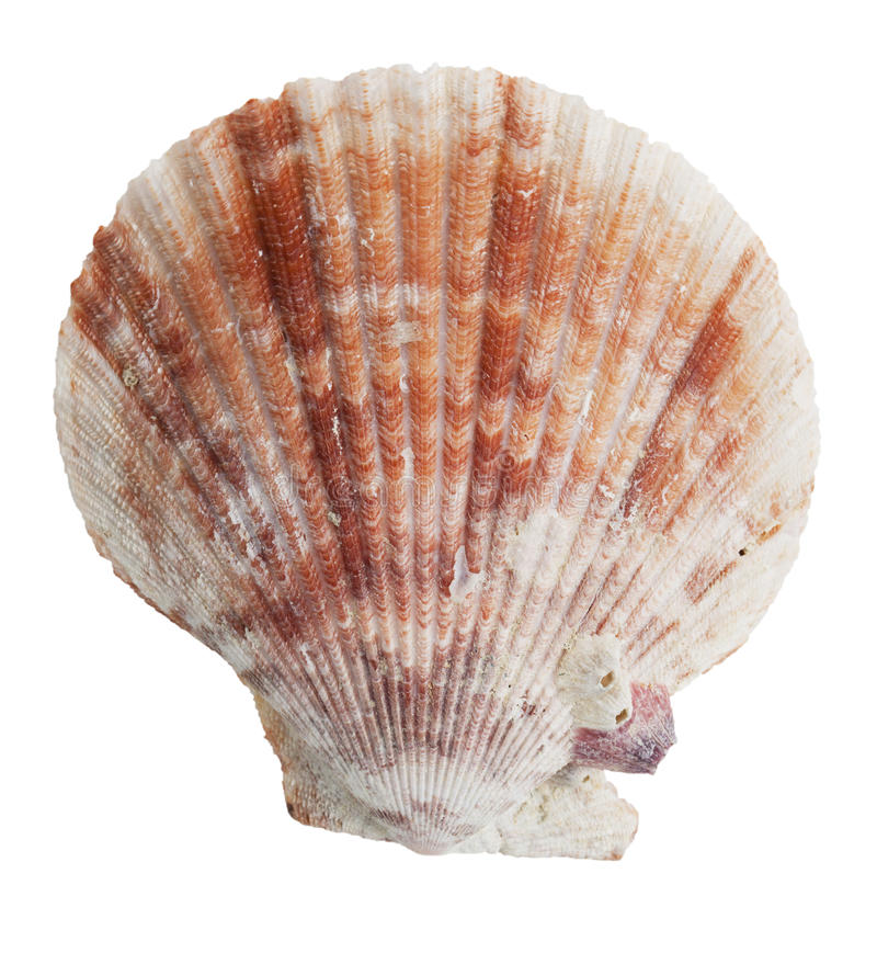 förstenade snäckskal för half hav arkivbilder