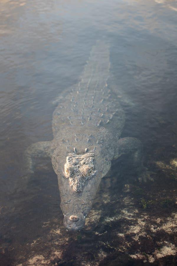 Förstulen amerikansk krokodil i den karibiska lagun arkivfoton
