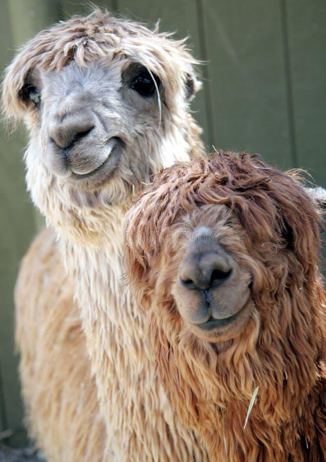 förtjusande alpacas royaltyfri bild