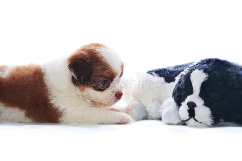 Förtjusande av den rasrena hunden för shihtzuvalpar som rekaxing och ligger på royaltyfri fotografi