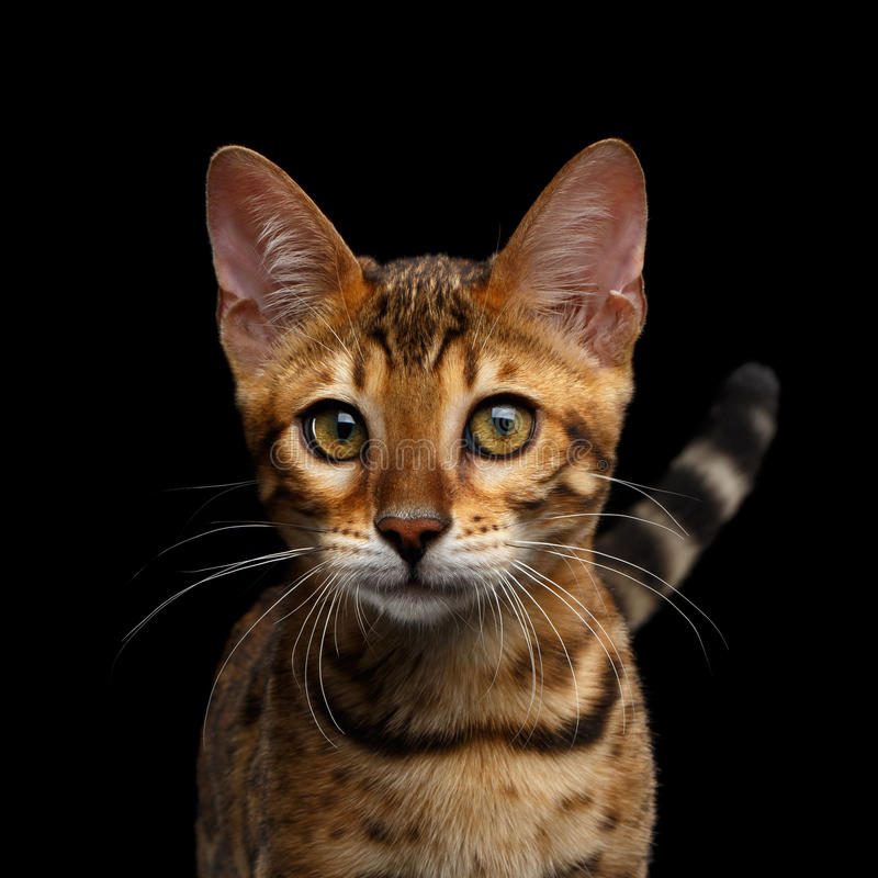 Förtjusande avelBengal kattunge som isoleras på svart bakgrund royaltyfri fotografi