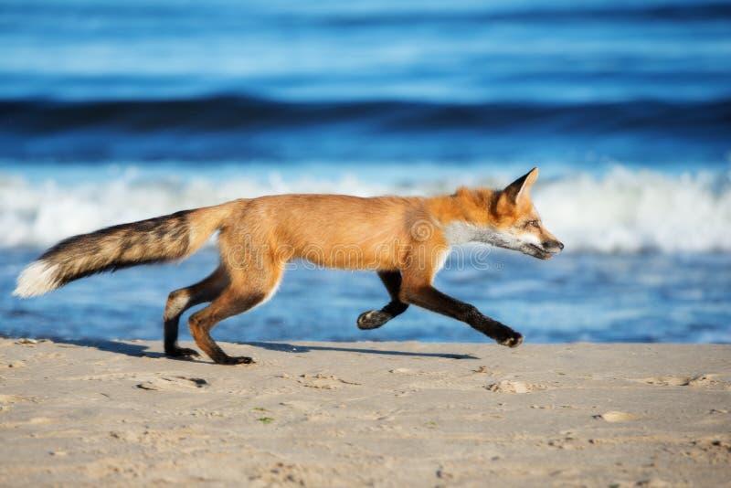 Förtjusande barnrävkörningar på stranden arkivbilder