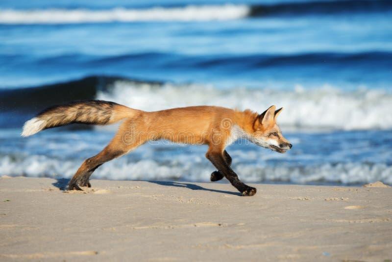 Förtjusande barnrävspring på en strand royaltyfri foto