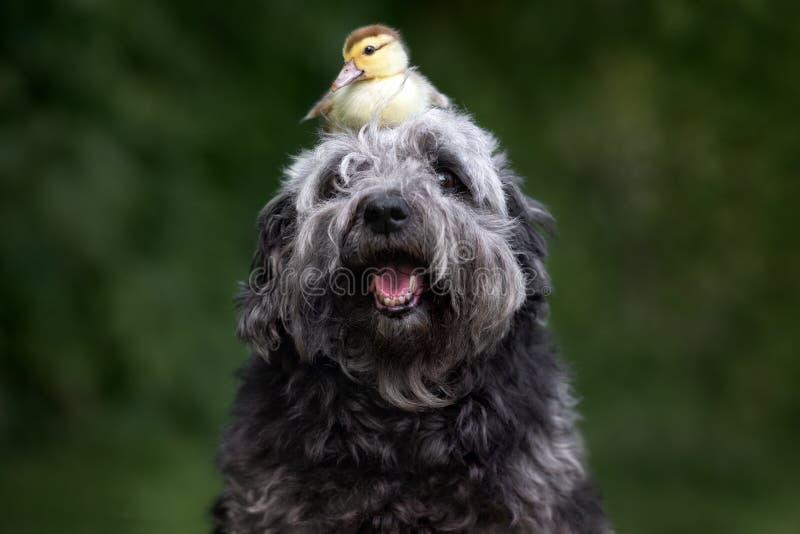 Förtjusande blandad avelhund som poserar med en ankunge arkivfoto