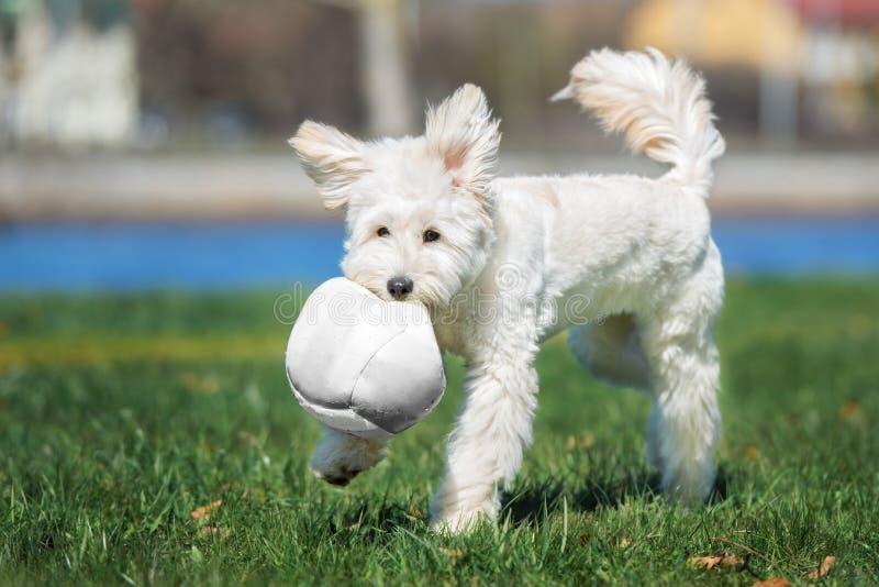 Förtjusande blandad avelhund som spelar med en boll utomhus arkivbilder