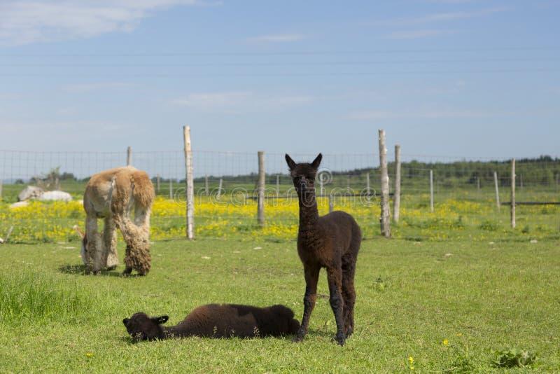 Förtjusande brunt behandla som ett barn alpaca som står stirra bredvid dess sibling som ner ligger i bilaga arkivbild