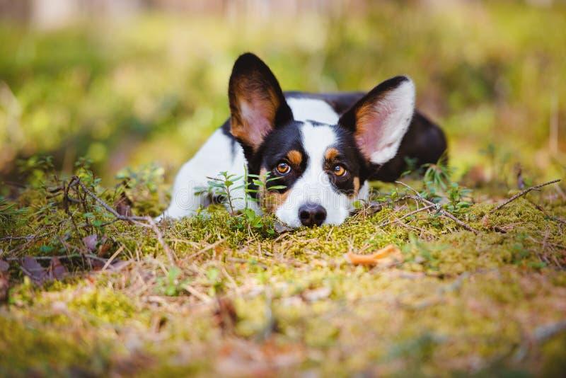 Förtjusande corgihund som ner utomhus ligger fotografering för bildbyråer