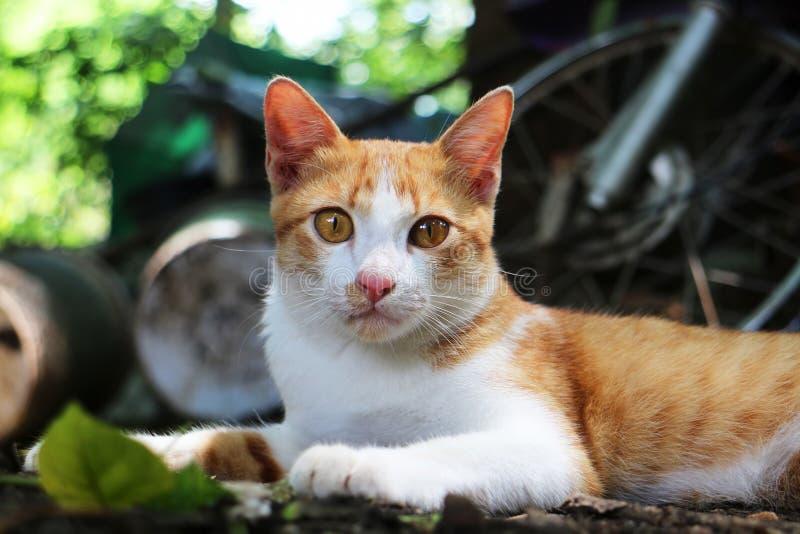 Förtjusande en utomhus- brunt-vit katt ligga ner royaltyfria bilder