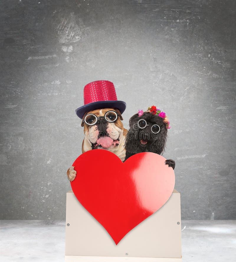 Förtjusande gammal hundkapplöpning som delar deras förälskelse fotografering för bildbyråer
