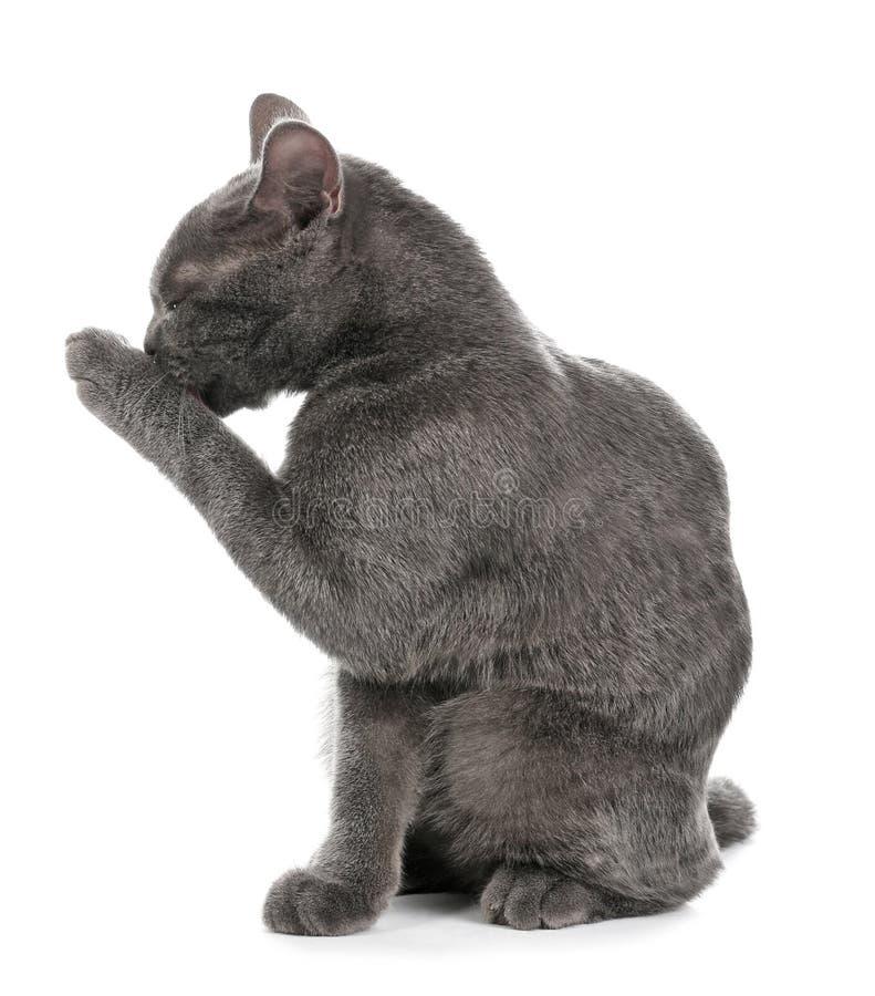 Förtjusande grå brittisk Shorthair katt royaltyfri foto